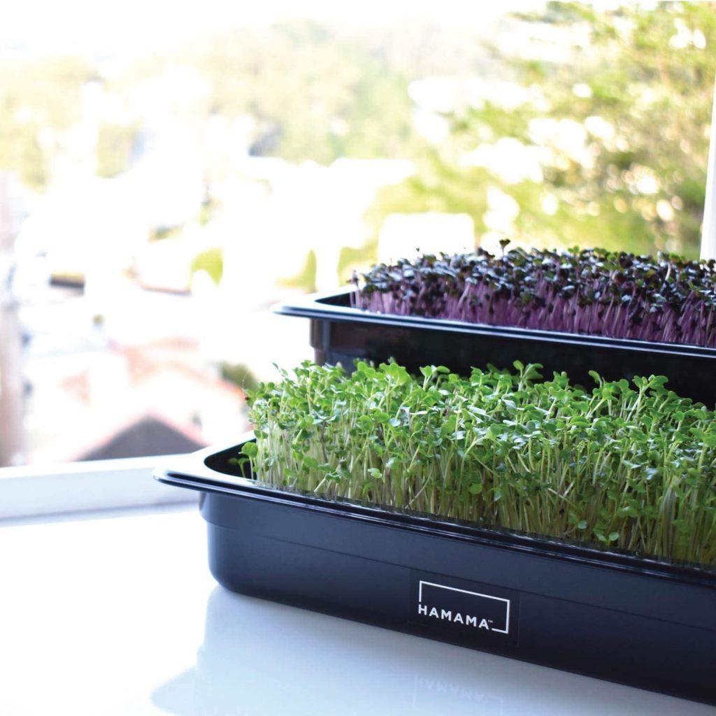 Microgreen Growing Kit Apartment Gadget
