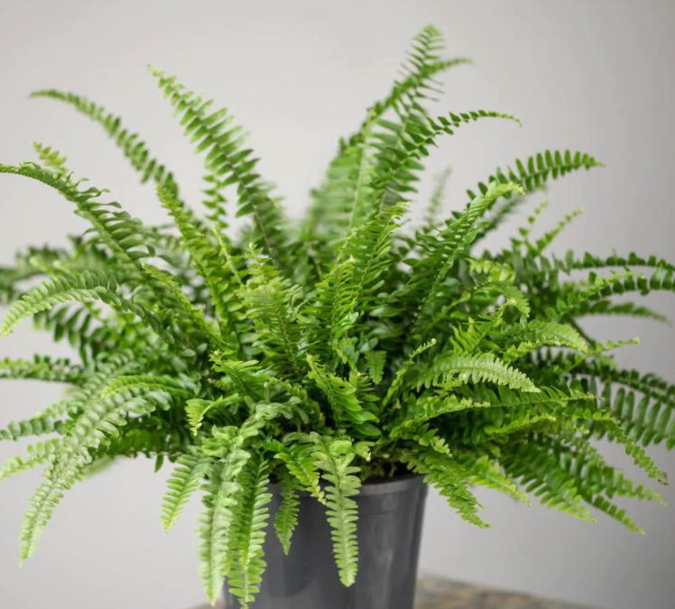2.5 Qt. Australian Sword Fern Nephrolepis Plant in Grower Pot